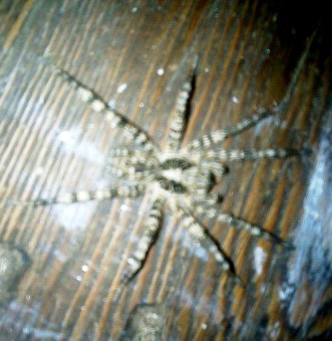 юго-востоке крупные пауки пензенской области фото и описание стенки следует делать