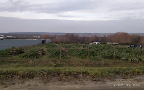 В Пензенской области стали массово выпиливать елки