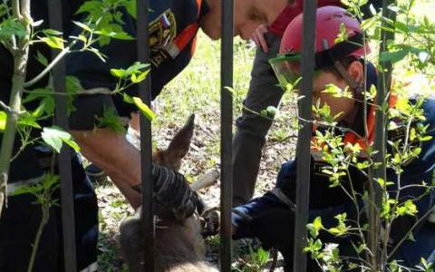 В Пензе спасли израненную косулю, застрявшую в металлическом заборе