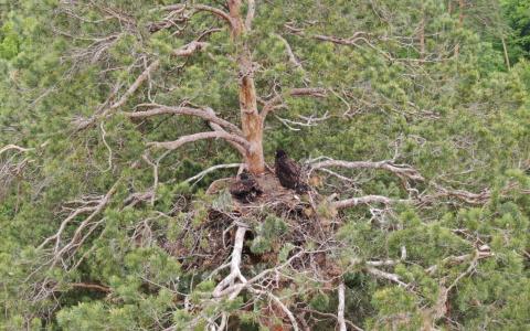 Обнаружено гнездо: у самого крупного хищника в Пензе появилось потомство