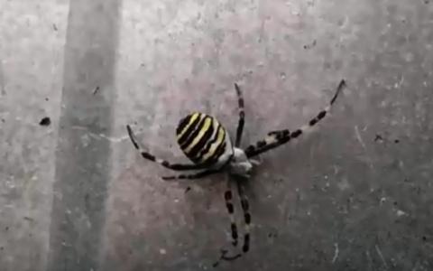 Мама-оса, папа-тарантул: пензенец обнаружил странное насекомое