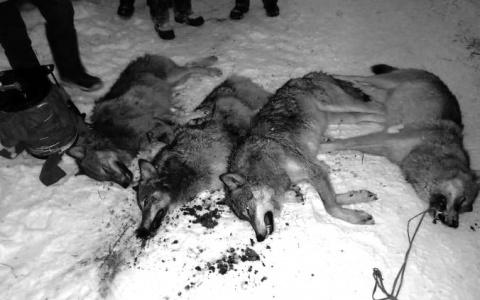 В Пензенской области убивают волков и волчиц: подробности