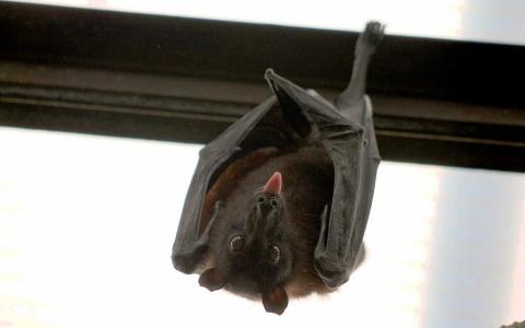 Новые коронавирусы обнаружили у летучих мышей в Китае