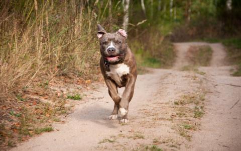 Бойцовская собака без намордника напала на женщину и ребенка в Пензенской области