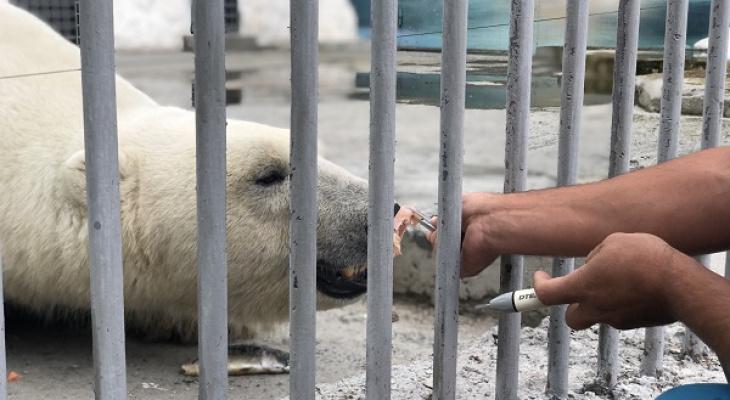 В Пензенском зоопарке медведя приучают чистить зубы