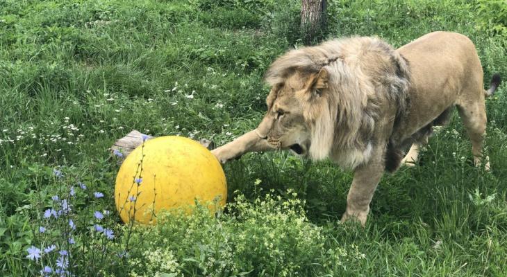 В Пензе львы с бизонами играют в футбол