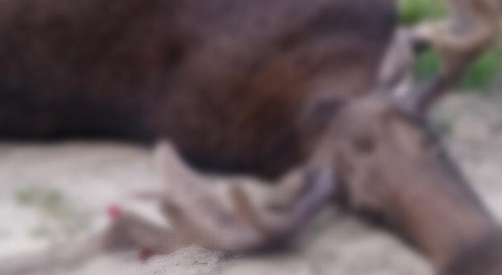 Появилось видео момента жесткого ДТП с лосем в Заречном