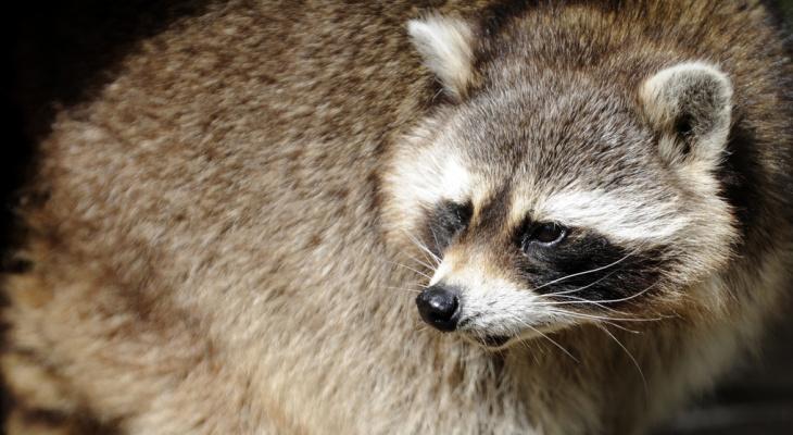 Енот напал на посетителей контактного зоопарка, пострадал ребенок