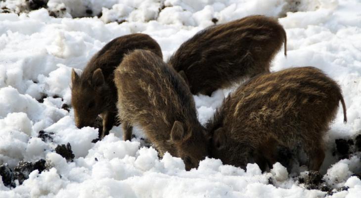 «Поросята не отходили от мертвой матери»: пензенский охотник обещает вознаграждение за поимку браконьеров