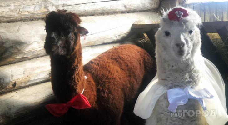 В Пензе решили поженить альпака и вот что из этого вышло