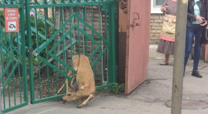 Стала известна судьба косули, застрявшей в заборе в центре Пензы – видео