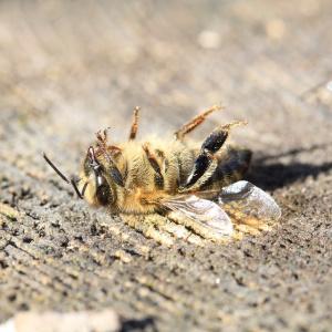 В Пензе пенсионерка, вернувшись домой, нашла мертвых пчел