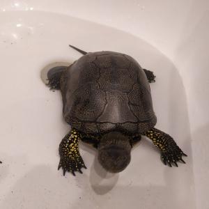 Пензенец подобрал на дороге болотную черепаху - фото